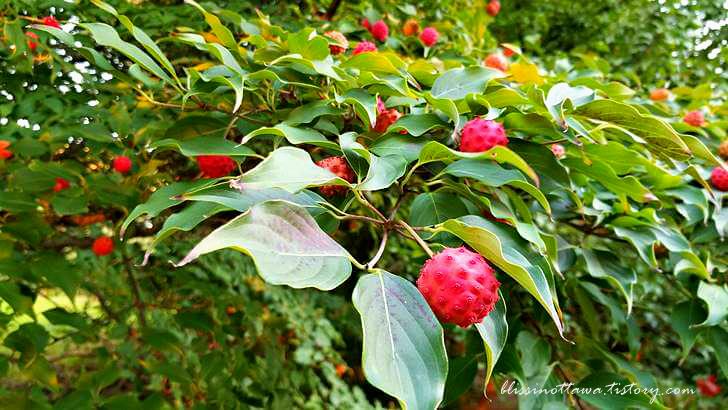 층층나무 열매입니다