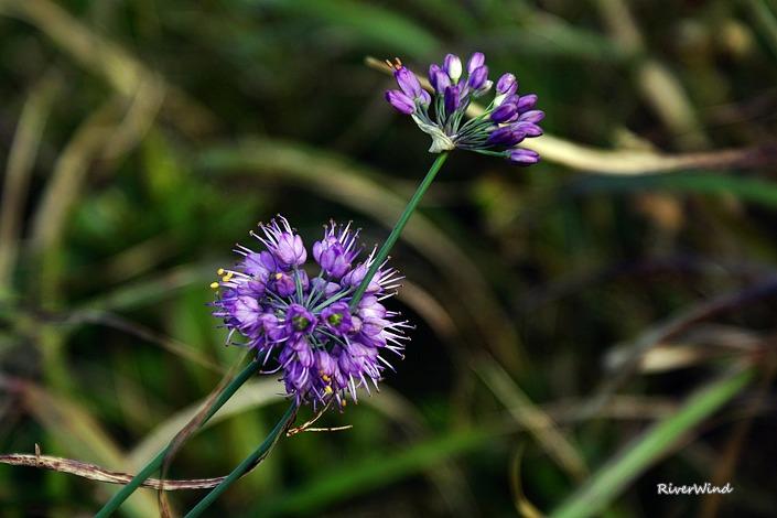 산부추 꽃