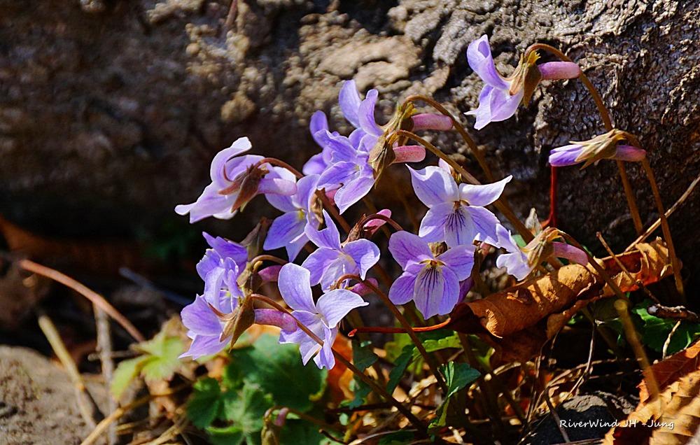 왜제비꽃 Viola japonica
