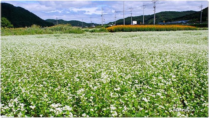 하얀 메밀꽃 핀 들판