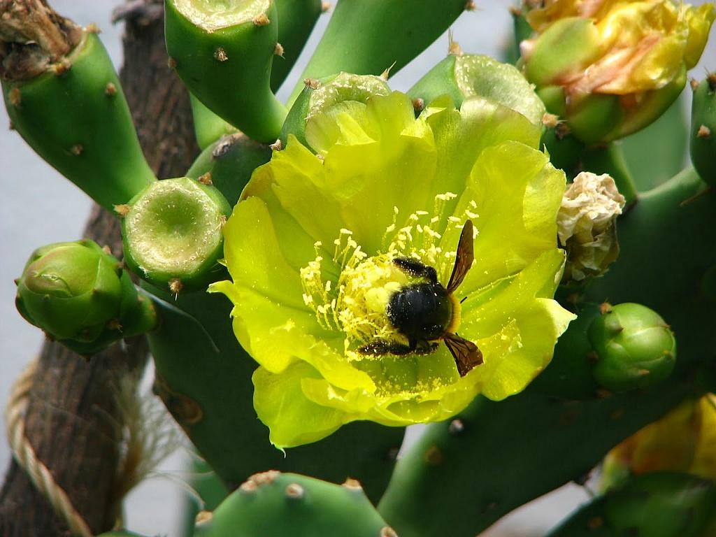 노란 천년초 꽃